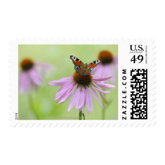 Peacock butterfly (Inachis io) drinking nectar Postage Stamp