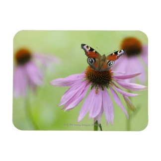 Peacock butterfly (Inachis io) drinking nectar Rectangular Photo Magnet