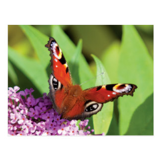 Peacock Butterfly on Buddleia Photo Postcards