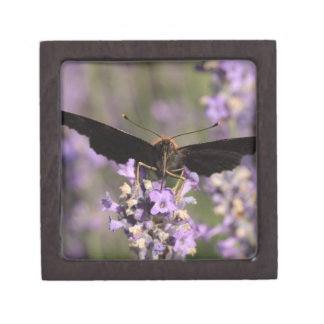 peacock butterfly sucking lavender nectar gift box