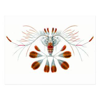 Peacock Calanid Postcard