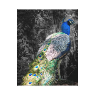Peacock Color + B&W Wrapped Canvas