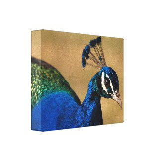 Peacock common photography canvas print