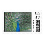 Peacock Dancing Postage Stamps