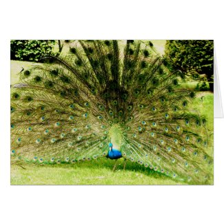 Peacock Display Colours
