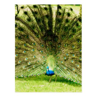 Peacock Display Colours Postcard