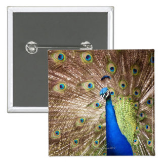 Peacock displaying plumage 2 inch square button