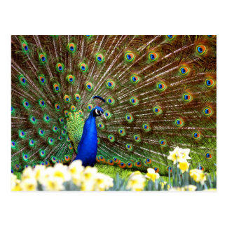 Peacock displays post cards