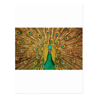 Peacock Dissolved the Tail Post Card
