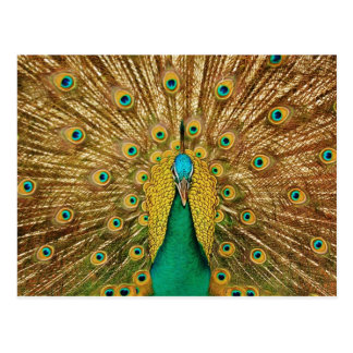 Peacock Dissolved the Tail Postcards