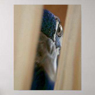 Peacock eye through wooden gate slats poster