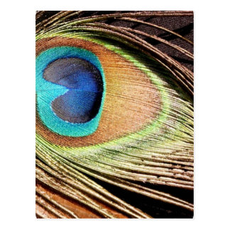 Peacock Feather Designs Postcard