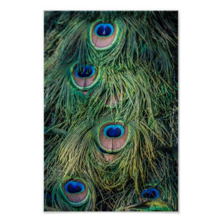 Peacock Feather Pattern Poster