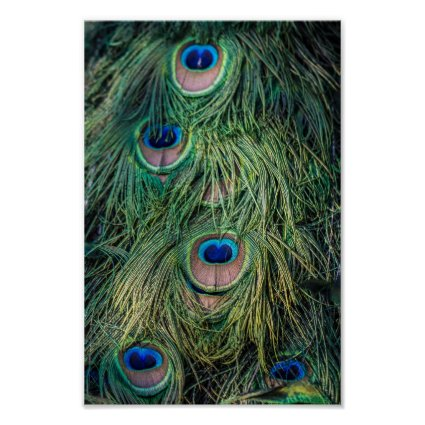 Peacock Feather Pattern Print