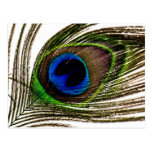 Peacock Feather Post Card
