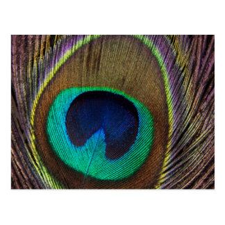 Peacock Feather Upright Close-Up Postcard