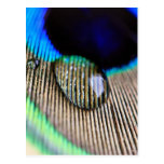 Peacock feather water with droplets postales