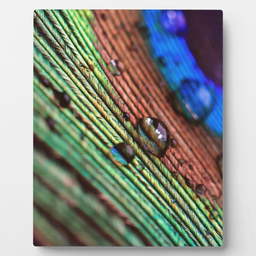 Peacock feather with water droplets schautafel
