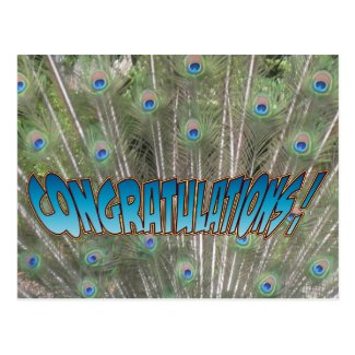 Peacock Feathers Congratulations Postcard Blue