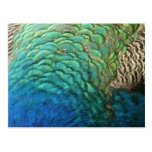 Peacock Feathers I Colorful Abstract Nature Design Postcard