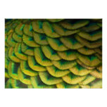 Peacock Feathers II Colorful Nature Design Poster