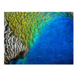 Peacock Feathers IV Colorful Nature Design Postcard