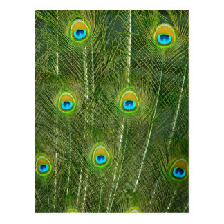 Peacock feathers postcard