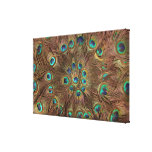 Peacock feathers stretched canvas prints