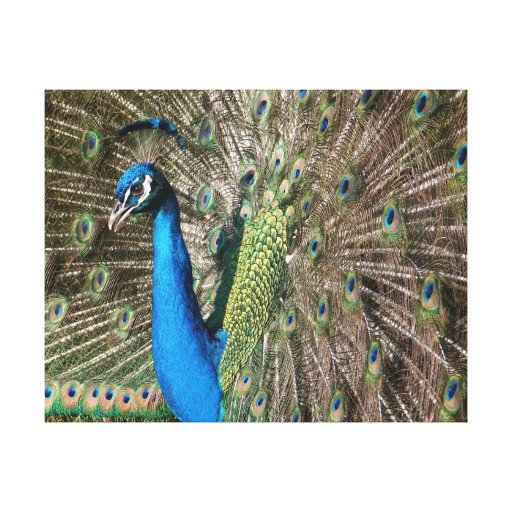 Peacock Flair Stretched Canvas Print