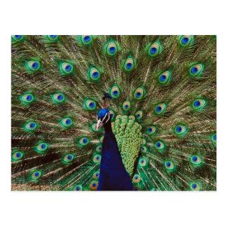 Peacock Foilage Postcard