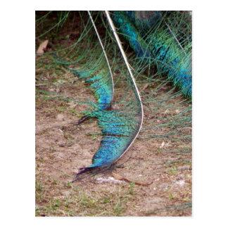 Peacock Fringe Postcard