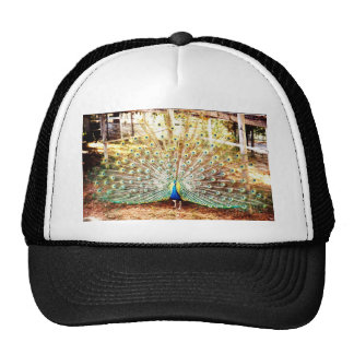 Peacock, Hat
