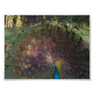 Peacock in Hawaii print