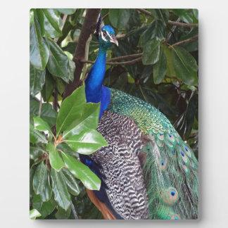 Peacock In Magnolias Display Plaque
