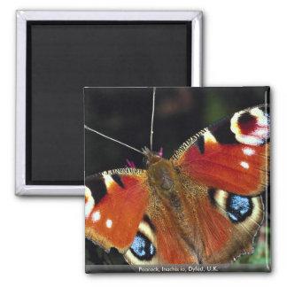 Peacock, Inachis io, Dyfed, U.K. 2 Inch Square Magnet