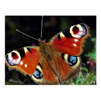 Peacock, Inachis io, Dyfed, U.K. Postcard
