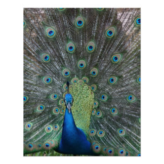 Peacock male in full fan photograph poster