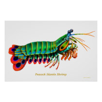 Peacock Mantis Shrimp Reef Animal Poster