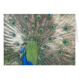 Peacock notecards card