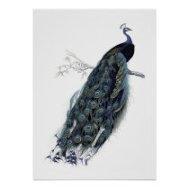 Peacock on a branch - Vintage Illustration Poster