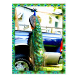 Peacock on a Pickup Postcard