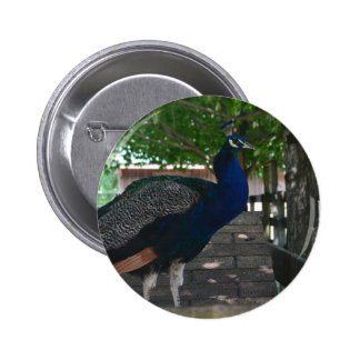Peacock on a roof buttons