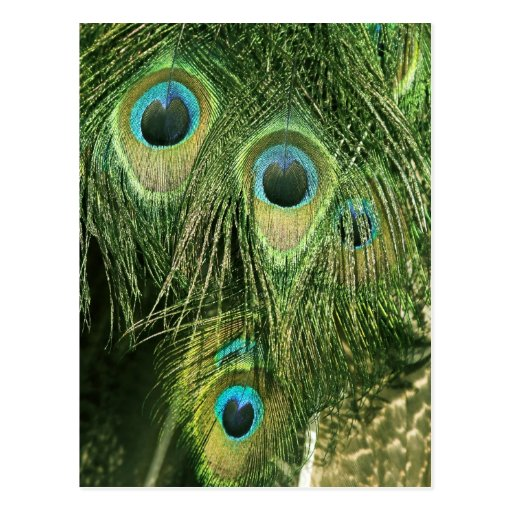 Peacock/Peafowl Feathers Postcard