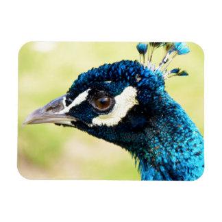 Peacock | Peafowl Photograph Magnet