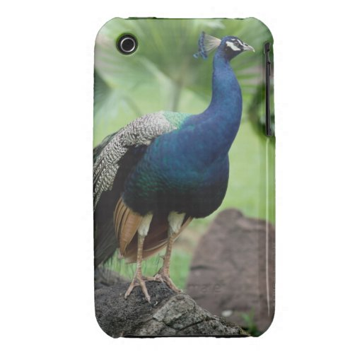 Peacock perched on rock Case-Mate iPhone 3 cases