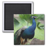 Peacock perched on rock magnets