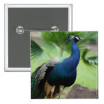 Peacock perched on rock pinback button