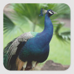 Peacock perched on rock square stickers
