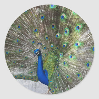 Peacock Perfection Classic Round Sticker