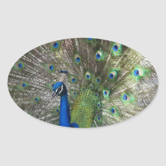Peacock Perfection Oval Sticker
